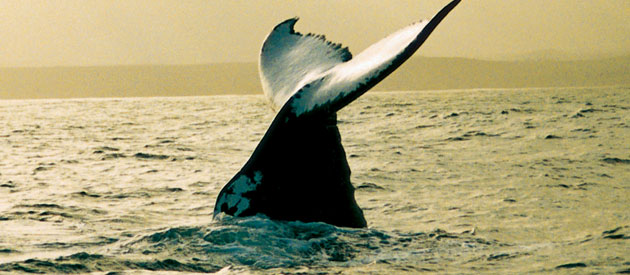 Whale watching in the Overberg